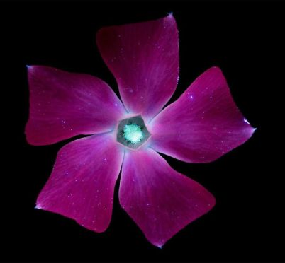 I-make-flowers-glow-to-photograph-their-invisible-light-58eb68e4edca5__880