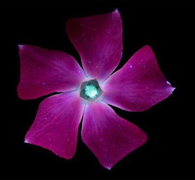 I-make-flowers-glow-to-photograph-their-invisible-light-58eb68e4edca5__880