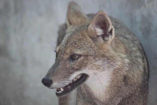 狼はペットとして飼育できる?ペットショップで販売されている?