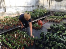 Laying out potted cuttings in glasshouse.