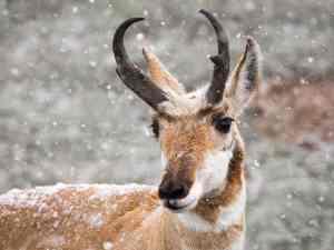 Pronghorn buck in Yellowstone