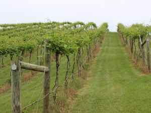 Bluestone Vineyard Vines