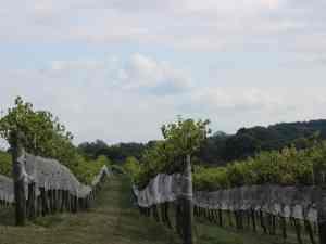 Otium Vineyard
