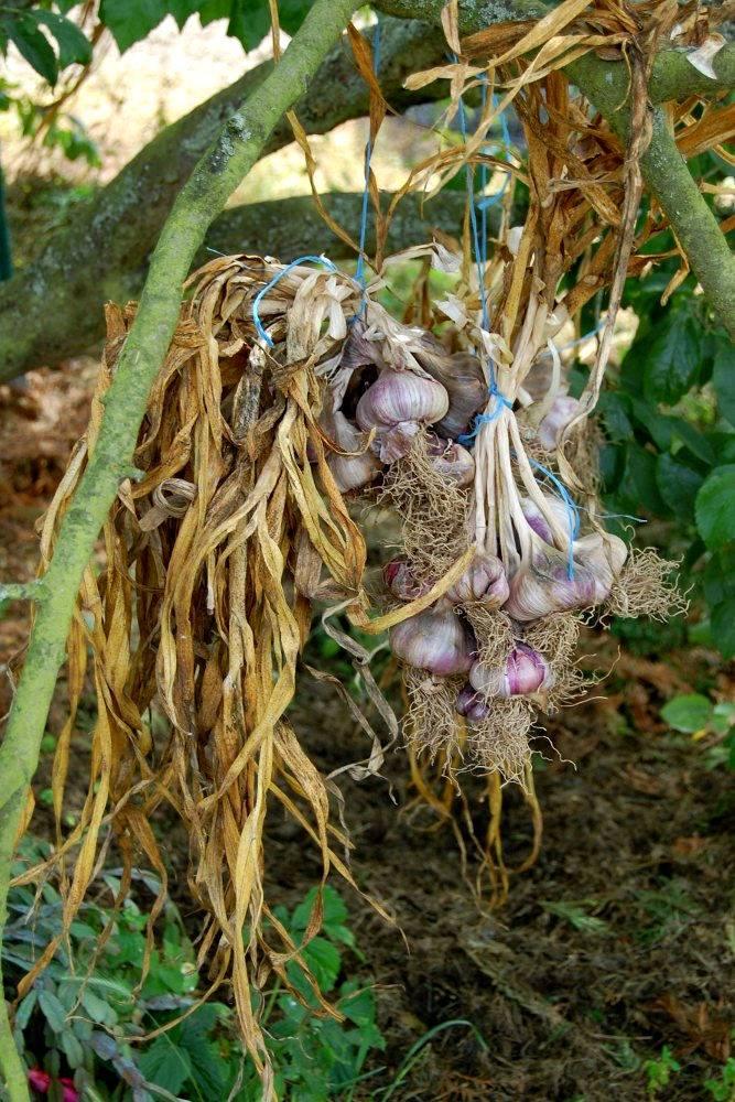 Faire Pousser De L'ail : faire, pousser, l'ail, Culture,, Plantation, Récolte, Potager