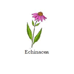 herb echinacea