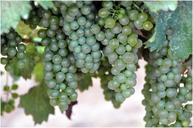 We really do have grapes in the vineyard!