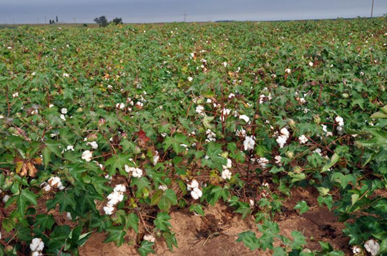 Organic Cotton Growing on the High Plains