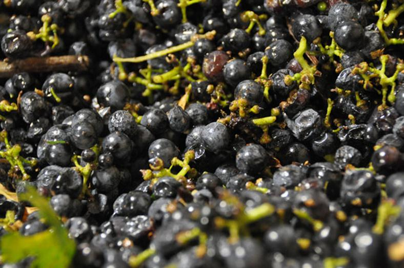 The last of grape harvest 2010