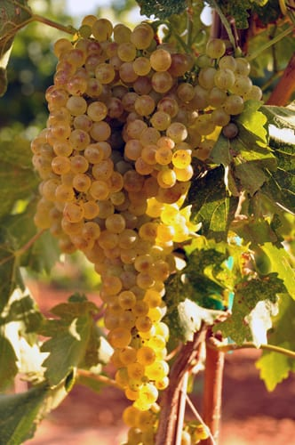 Harvest this morning and a HUGE Trebbiano cluster