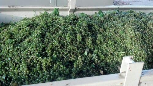 Harvest of Viognier 2012