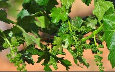 Vineyards after the April freeze