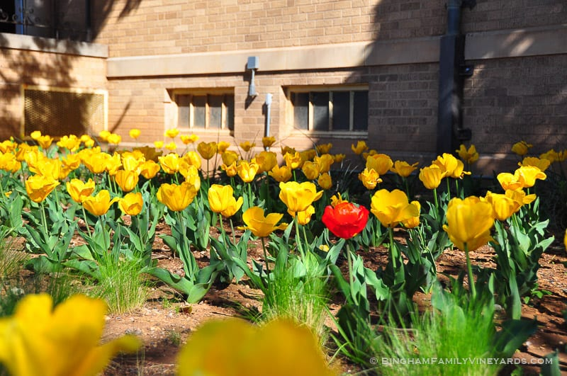 15.03.24_YellowTulips_005-web