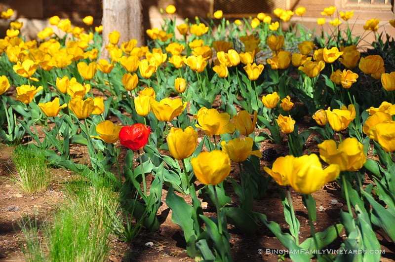 15.03.24_YellowTulips_007-web