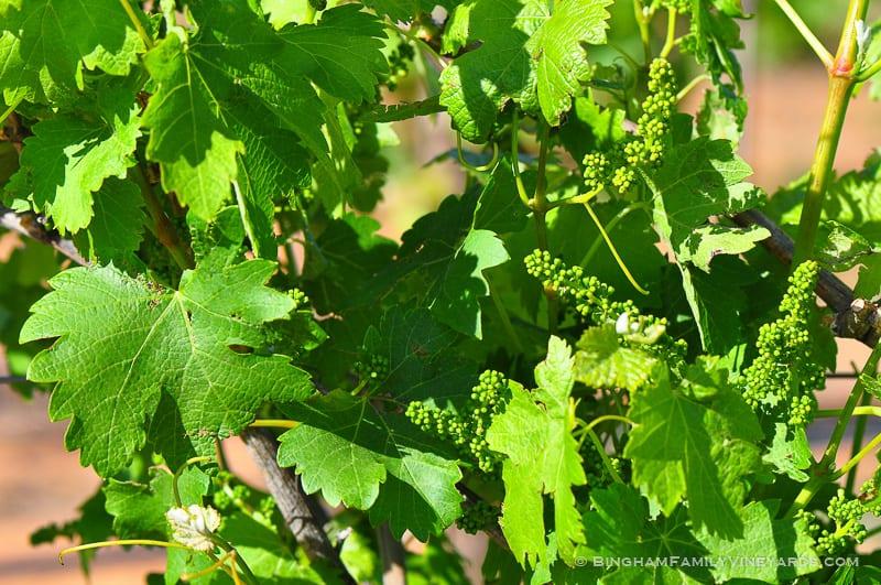 15.04.29_vineyards_045-web