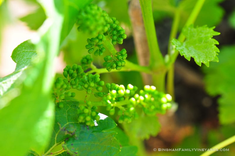 15.04.29_vineyards_050-web