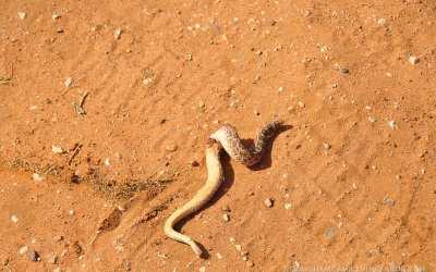 Rattlesnakes in the vineyard