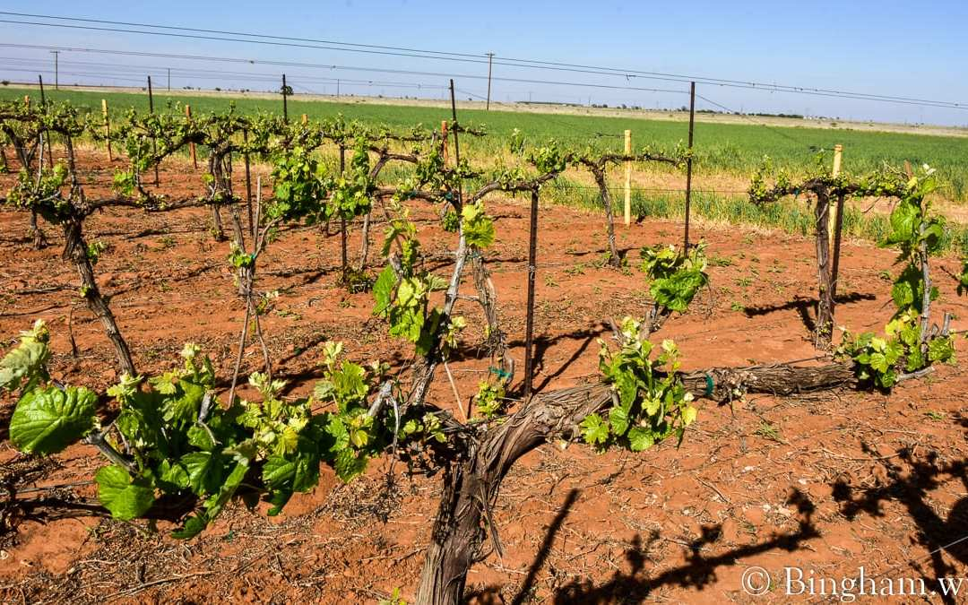 Vineyards Update for April 21, 2020