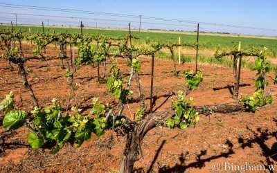 Vineyards Update for April 21, 2020