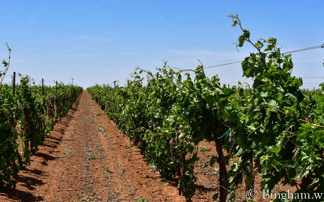 Vineyards Update for May 16, 2020