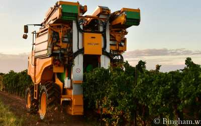 First Day of Bingham Grape Harvest in 2020