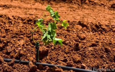 Planting Live Vines in the Vineyard