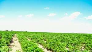 Organic hemp growing at BinghamOrganics.com