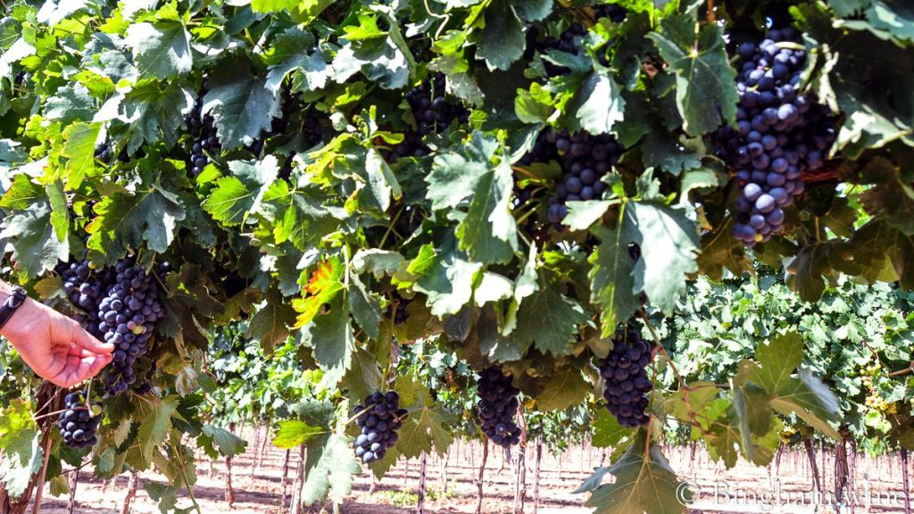 Tempranillo grapes ripening on the vines at Bingham Family Vineyards in 2010.