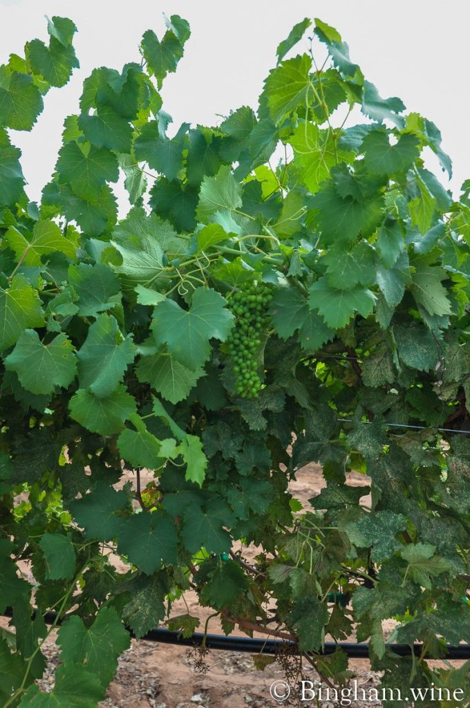 Unripe grapes left on the vines after the mechanical harvester has gone through the rows and harvested grapes at Bingham Family Vineyards.