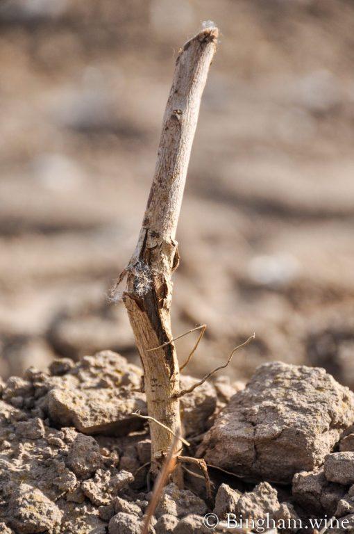 new planting of a grape vine