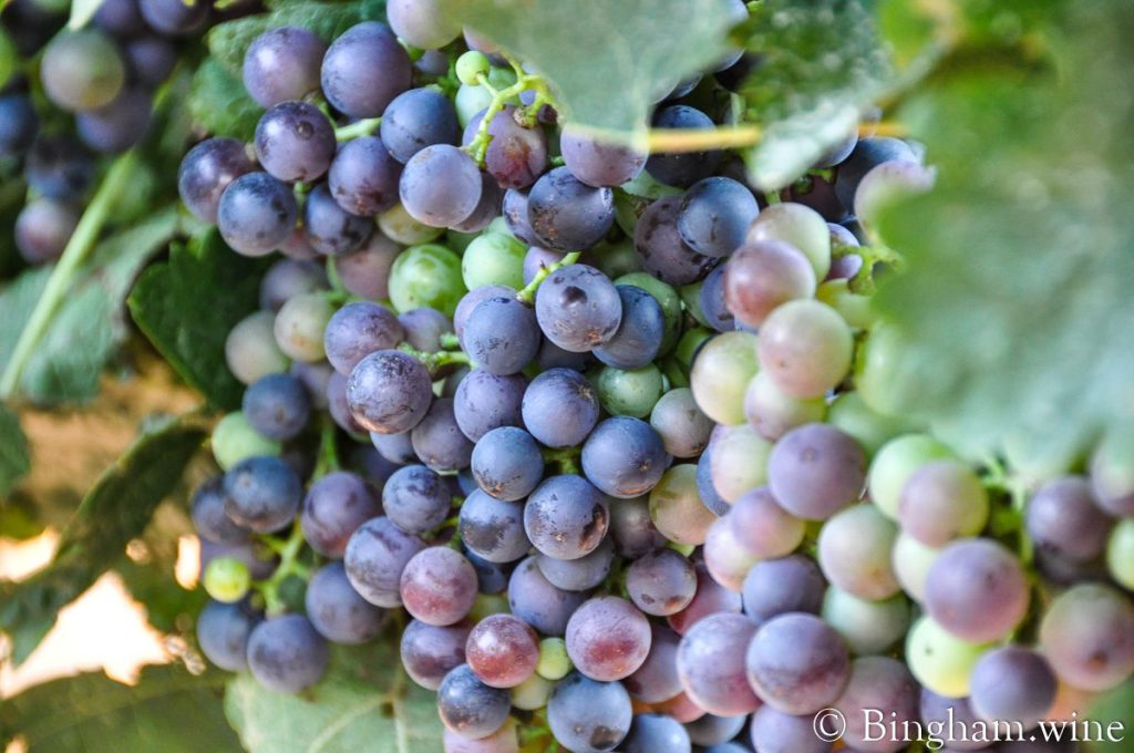 Tempranillo grapes ripened on the vines at Bingham Family Vineyards.