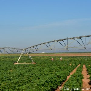 Organic cotton fields with workers hoeing weeds.