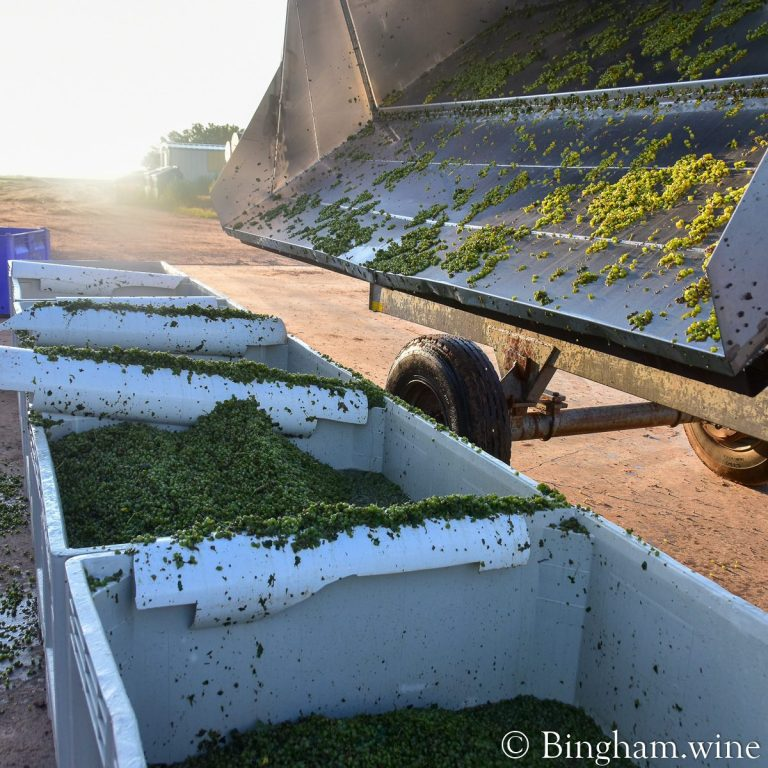 Albarino grapes being dumped into bins after harvest from a dump cart.