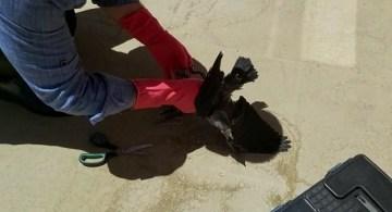 Çatıdan düşen yavru karga tedavi altına alındı