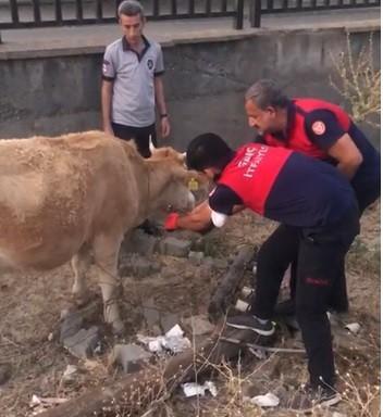 Tellere takılan inek itfaiye erleri tarafından kurtarıldı