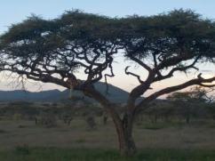 Löwe auf Baum im Serengeti