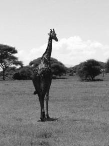 Giraffe im Tarangire