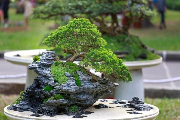Choosing Your Bonsai Tree