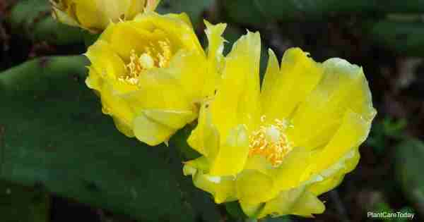 Growing Opuntia Humifusa Plants: How To Care For Eastern Prickly Pear