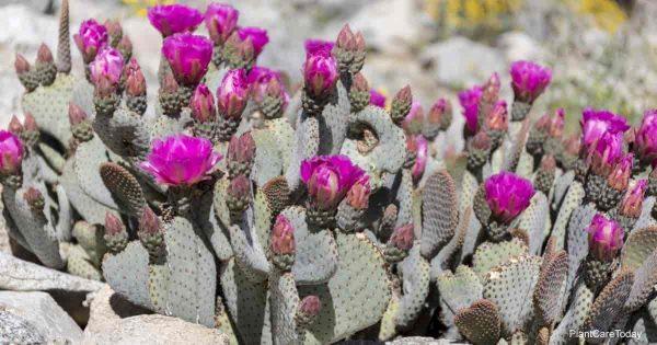 How To Grow Beavertail Cactus