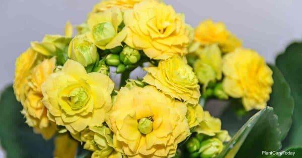 Tips On Calandiva Plant Care