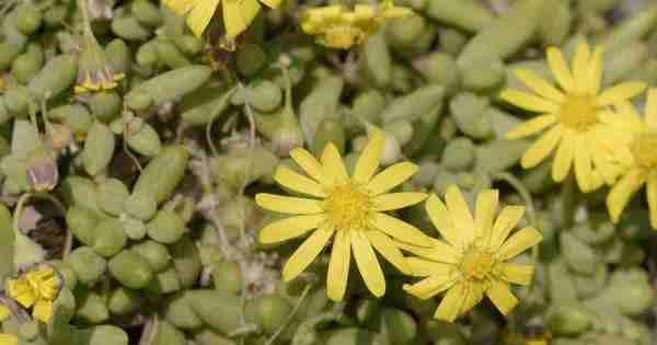 Ruby Necklace Plant Care – Growing Othonna Capensis   [Little Pickles] Succulent