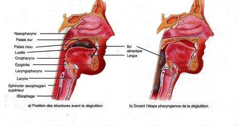 small resolution of diagram of pharynx