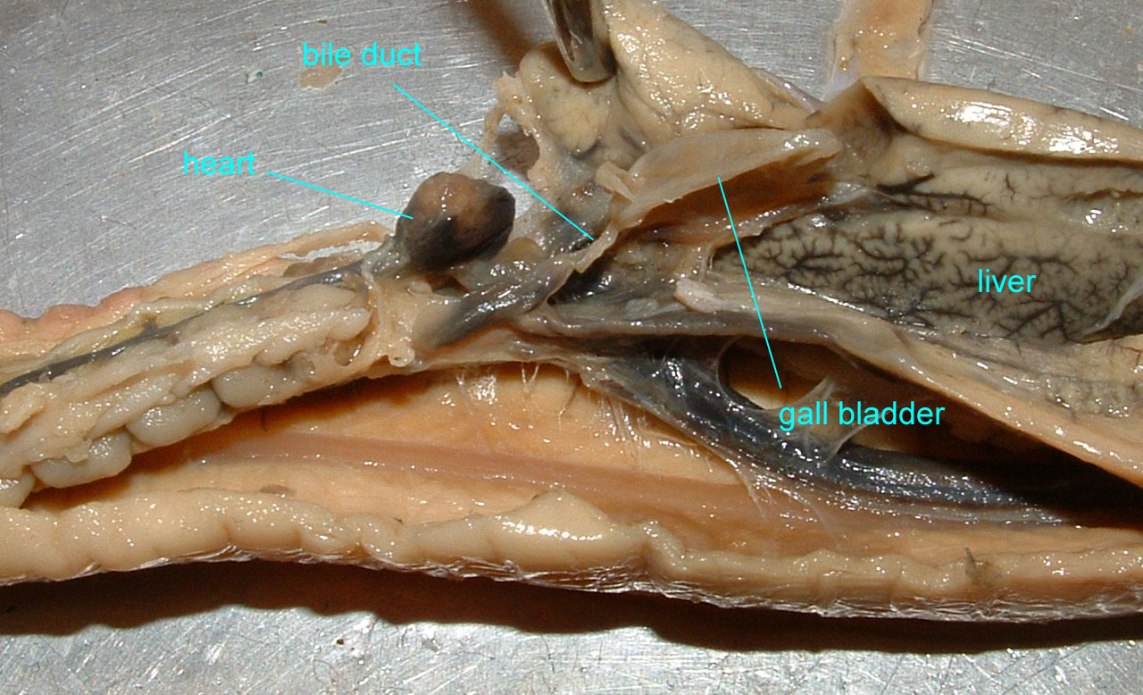 perch internal anatomy diagram digestive system blank dissection shark respiratory