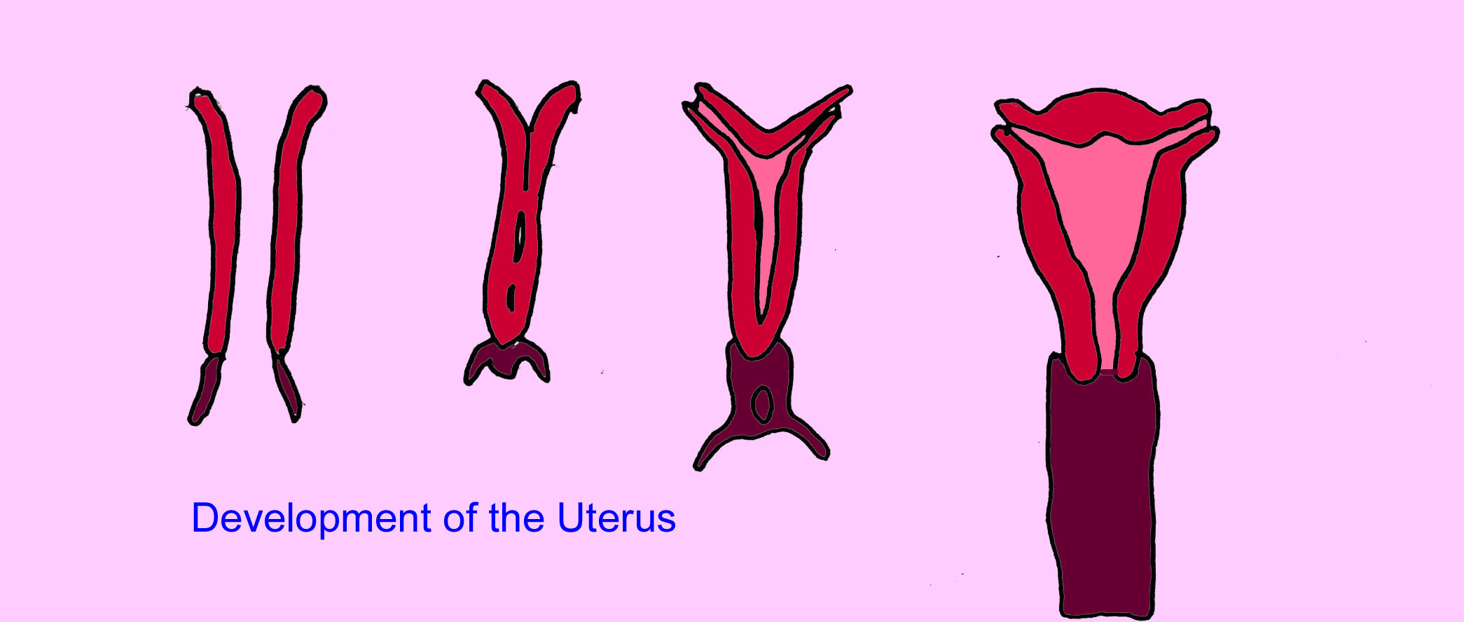 Image result for formation of uterus