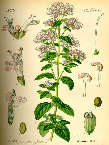 Schede Botaniche  Le Nostre Erbe