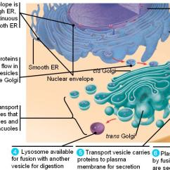 Golgi Apparatus Structure Diagram Nissan Maxima Engine Endomembrane_system.html 06_16endomembranesystem.jpg