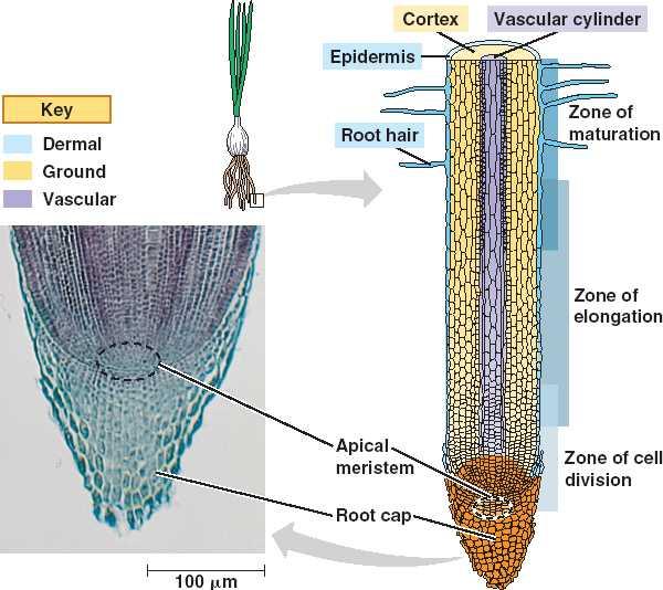 onion root tip diagram usb wires ubc biology 343 blog: lab 2