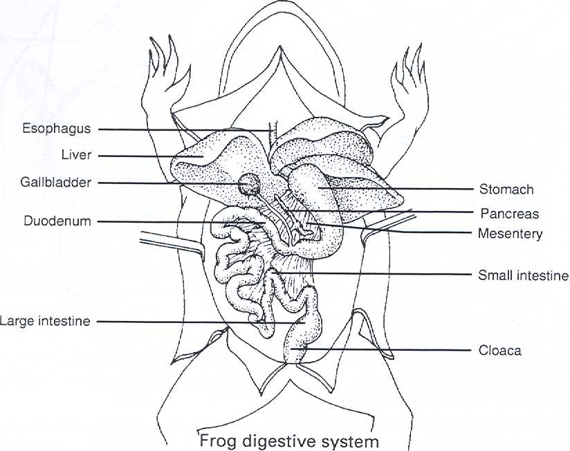 plytomurli: diagram of circulatory system of frog