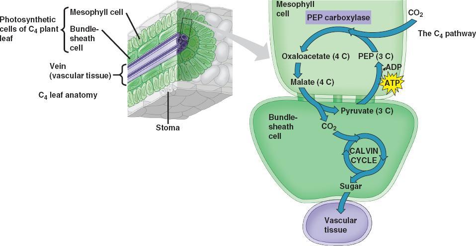 C4 Plant Anatomy Choice Image Human Body Anatomy