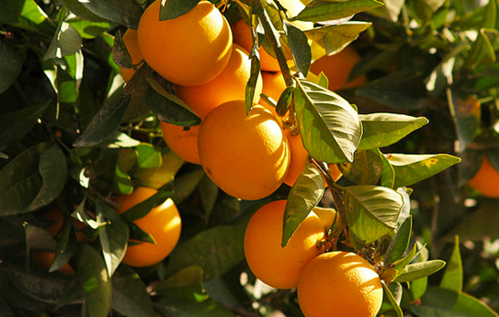 Bioalgarrobo naranja ecológica